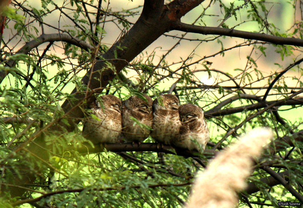 Four Spotted Owlets in a row